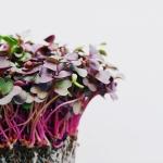 Immunerősítés házilag: növessz mikrozöldeket az ablakpárkányodon